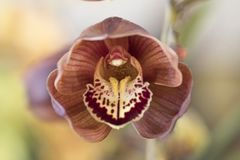 Stäng sig upp av en brunt- och lilaorkidéblomma Royaltyfri Bild