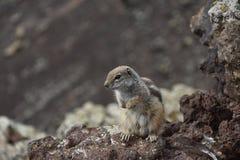 Stäng sig upp av en ekorre i Fuerteventura, kanariefågelöarna royaltyfria bilder
