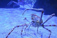 Stäng sig upp av en enorm spindelkrabba med långa tunna tentakel i ett akvarium på sanden Botten beskådar royaltyfria foton