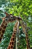 Stäng sig upp av en familj av reticulated äta för giraff Royaltyfria Bilder
