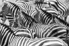 Stäng sig upp av en flock med svartvita sebror arkivbild
