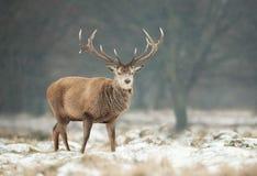 Stäng sig upp av en fullvuxen hankronhjort för röda hjortar i vinter arkivbilder