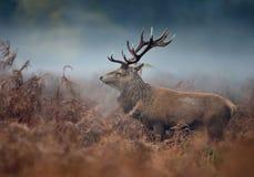 Stäng sig upp av en fullvuxen hankronhjort för röda hjortar på en dimmig höstmorgon arkivbilder