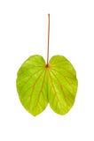 Stäng sig upp av en grön leaf fotografering för bildbyråer