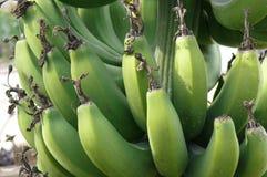 Stäng sig upp av en grupp av bananer som växer på trädet Arkivbild