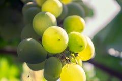 Stäng sig upp av en grupp av gröna druvor Royaltyfria Bilder