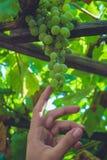 Stäng sig upp av en grupp av gröna druvor Arkivfoton