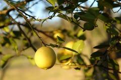 Stäng sig upp av en gul citron stock illustrationer