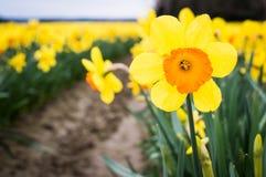 Stäng sig upp av en gul och orange påsklilja i ett påskliljafält med andra påskliljor i rader bakom royaltyfria bilder