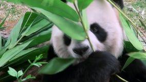 Stäng sig upp av en gullig jätte- panda som äter bambuzoo stock video