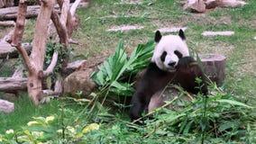 Stäng sig upp av en gullig jätte- panda som äter bambuzoo lager videofilmer