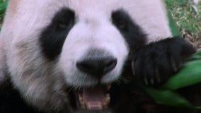 Stäng sig upp av en gullig jätte- panda som äter bambuzoo arkivfilmer