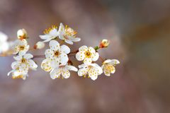 Stäng sig upp av en härlig europeisk vit blomma för körsbärsröd blomning på träd i tidig vår royaltyfria bilder