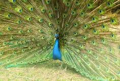 Stäng sig upp av en härlig påfågelfågel med dess fjäderspead ut arkivbild
