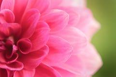 Stäng sig upp av en härliga rosa Dahlia Flower (dahliapinnataen) Fotografering för Bildbyråer