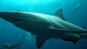 Stäng sig upp av en haj som preying över mindre fisk Royaltyfri Foto