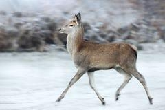 Stäng sig upp av en hind för röda hjortar som kör i vinter arkivfoton