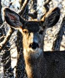 Stäng sig upp av en hjort i skogen fotografering för bildbyråer