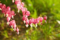 Stäng sig upp av en klunga av blödande hjärtor som på våren växer arkivfoton