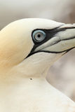 Stäng sig upp av en nordlig gannetfågel Royaltyfri Bild