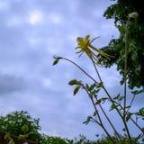 Stäng sig upp av en ny gul aklejablommaknopp som ser till den molniga himlen royaltyfria bilder