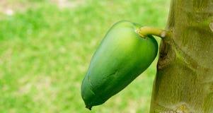 Stäng sig upp av en papaya på trädet, selektiv fokus Arkivfoto