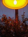 Stäng sig upp av en röd blomma som blommar busken under en orange tänd lampa för stad på natten, i Holon, parkerar, Israel royaltyfria bilder