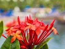 Stäng sig upp av en röd blommadjungelpelargon royaltyfri foto