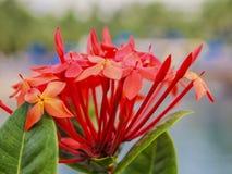 Stäng sig upp av en röd blommadjungelpelargon med en suddig bakgrund royaltyfri fotografi