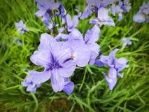 Stäng sig upp av en rugge av blåa blommor av den siberian irins eller irissiberciaen arkivfoton