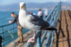 Stäng sig upp av av en seagull i Santa Monica Pier arkivbilder