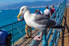 Stäng sig upp av av en seagull i Santa Monica Pier royaltyfria bilder