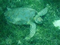 Stäng sig upp av en sköldpadda för det gröna havet (Cheloniamydas) som matar på Seagrass i solbelysta grunda karibiska hav med lok royaltyfri foto