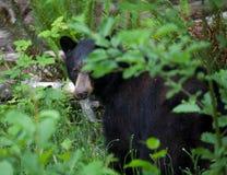 Stäng sig upp av en svart björn som döljer i skogen i British Columbia Kanada Royaltyfri Fotografi