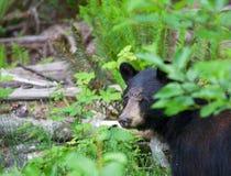Stäng sig upp av en svart björn som döljer i skogen i British Columbia Kanada Fotografering för Bildbyråer