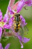 Stäng sig upp av en svart och gulna Hoverfly som matar på nektar på purpurfärgade blommor i trädgården royaltyfri fotografi