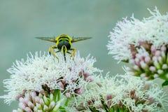 Stäng sig upp av en svart och gulna Hoverfly som matar på nektar på vita blommor i trädgården royaltyfria foton