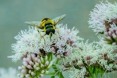 Stäng sig upp av en svart och gulna Hoverfly som matar på nektar på vita blommor i trädgården arkivfoto