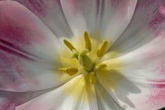 Stäng sig upp av en tulpan med rosa kronblad arkivbild