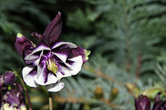 Stäng sig upp av en vulgaris gemensamma akleja/Aquilegia Royaltyfria Bilder