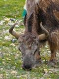 Stäng sig upp av en yak, Rongbuk, Tibet, Kina royaltyfri bild