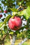 Stäng sig upp av ett äpple på ett träd i en trädgård royaltyfri fotografi