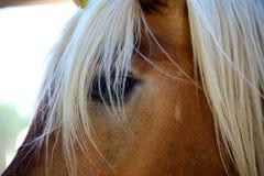 Stäng sig upp av ett öga av en avellinese häst Royaltyfria Foton
