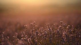Stäng sig upp av ett bi som pollinerar en lavendel stock video