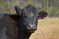 Stäng sig upp av ett djurt huvud för svart Aberdeen Angus nötkreatur royaltyfria bilder