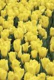 Stäng sig upp av ett fält av gula tulpan Arkivbild