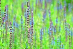 Stäng sig upp av ett härligt blommalavendelfält royaltyfria bilder