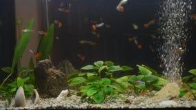 Stäng sig upp av ett inhemskt akvarium mycket av den unga fisken Majoriteten av dem är guppies, några kvinnlig är gravida röda ne stock video