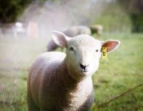 Stäng sig upp av ett lamm i ett fält som ser kameran Arkivfoton
