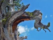 Stäng sig upp av ett sörjaträd i Kalifornien Arkivfoto